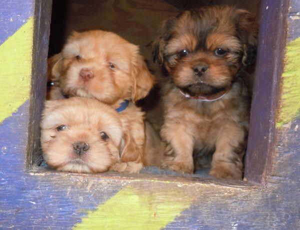 YorkiPoo ShihPoo YorkiApso ShihApso Carkie ShihPoo Puppies for sale