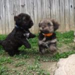 YorkiPoo Puppies Playing