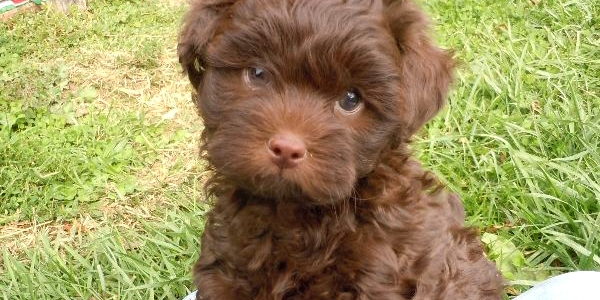 Black white cream butter Chocolate Shihpoo Puppies for Sale shih tzu toy poodle hybrid mix breed