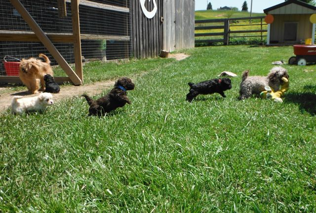 Silly, Happy ShihPoo puppies having a Good Ole Day!!