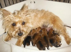Quizz and her brand new Carkie Puppies!