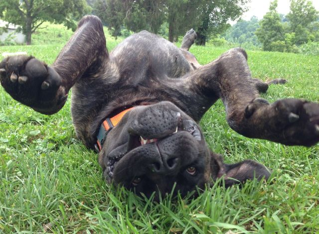"Mastiff puppy ""LolliPop"" Playing Dead?"
