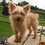 Golden Blonde Yorkshire Terrier