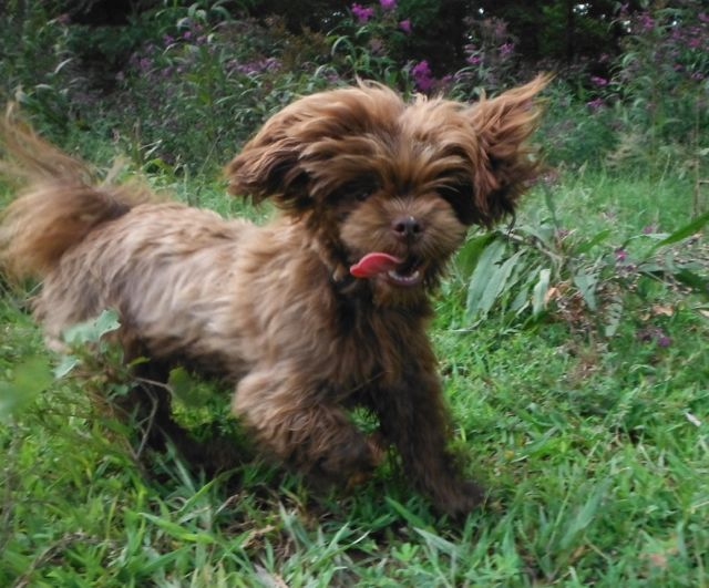 Chocolate ShihTzu - Chocolate brown Shorkie Tzu / Yorkshire Terrier / Shih Tzu mix breed puppies for sale