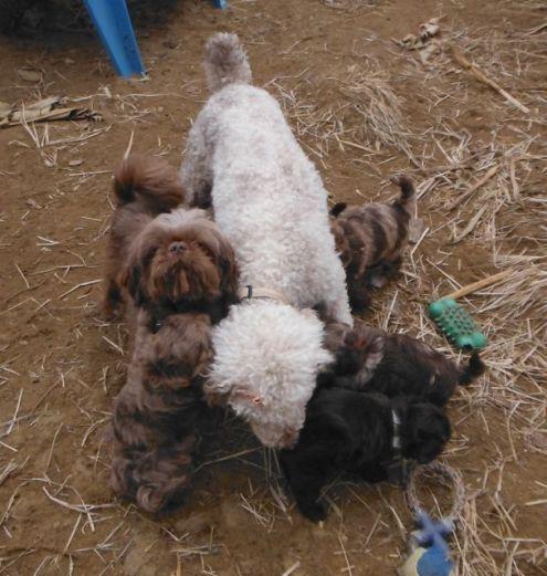 ShihPoo puppies for sale ShihTzu Mini Poodle mix breed