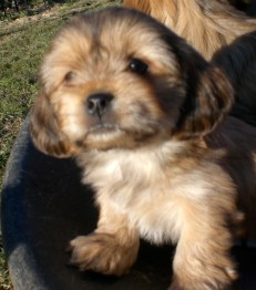 YorkiApso puppies for sale breeder Yorkshire Terrier mix Lhasa Apso