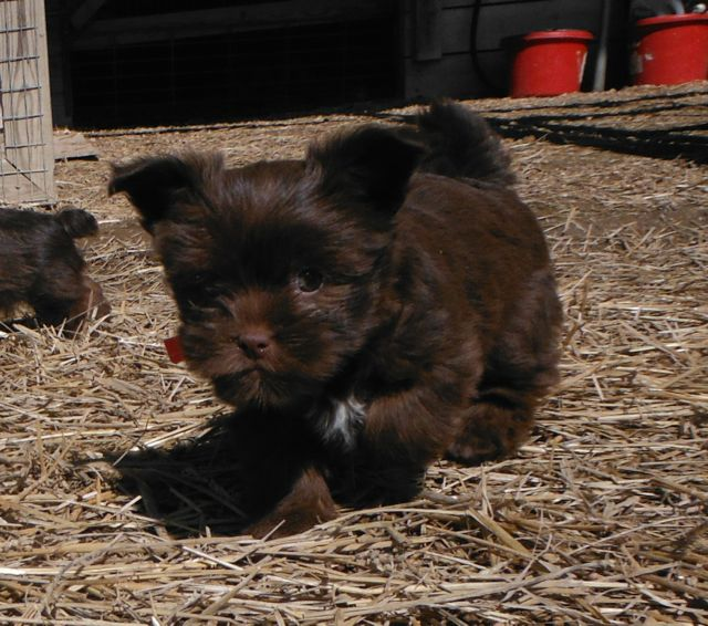 Shorkie Tzu Shih Tzu Yorkshire Terrier mix breeder puppies for sale chocolate brown