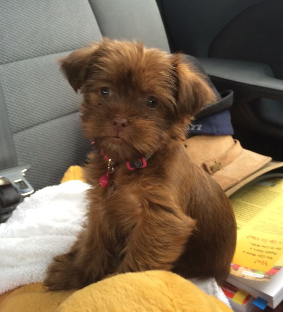 Chocolate Shorkie Tzu puppies for sale breeder