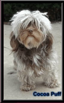 Havashire & HavaPoo puppies for sale Havanese mix w poodle / Yorkie breeder