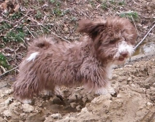 Chocolate tuxedo Havanese mix breed puppies for sale