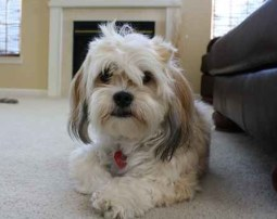 HavaApso puppies for sale Havanese Lhasa Apso mix breed