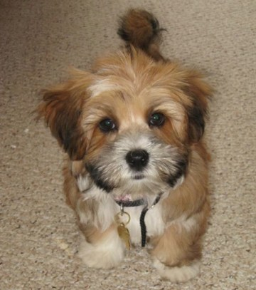 HavaPoo Puppies for sale Havanese Poodle mix breed