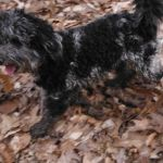 YorkiPoo puppies for sale OH breeder