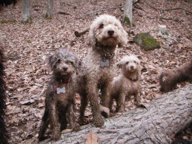 Chocolate brown parti merle toy poodle