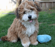 HavaPoo puppies for sale Havanese Mini toy poodle mix breed
