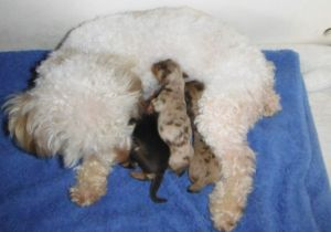 Teacup chocolate merle YorkiPoo puppies