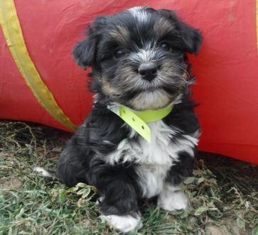 TriColor M Tux Havashire Puppy YELLOW