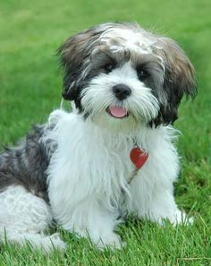 Havanese Lhasa Apso puppies for sale