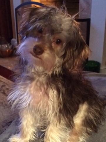 Yorkshire terrier breeder ohio