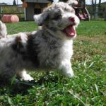 Havanese Mini Poodle HavaPoo puppies for sale