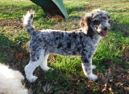 Moyen / Klein Blue Merle Tuxedo Poodle - Havanese Poodle HavaPoo HavaNoodle Puppies for Sale
