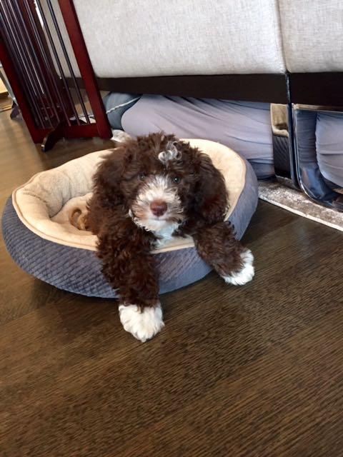 Havanese Mini Poodle HavaPoo puppies for sale
