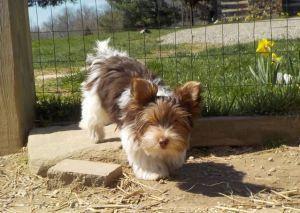 HavaPoo Havanese Yorkshire terrier mix breed