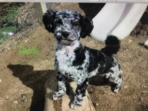 HavaPoo Puppy for Sale