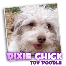 Our Registered Toy Poodle Dixie Chick