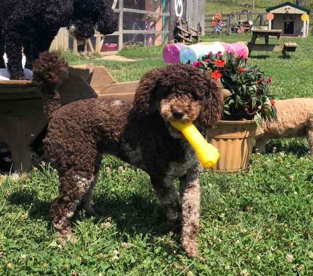 breeder of havapoo puppies for sale