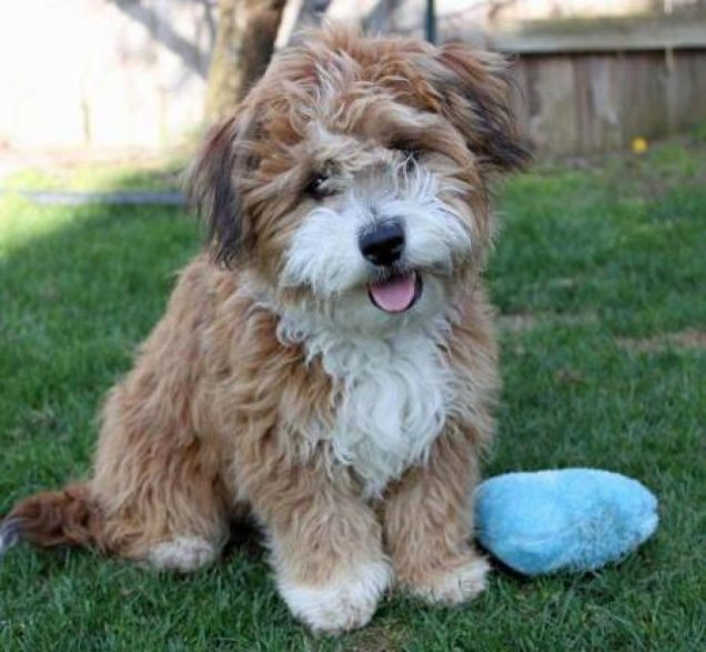 Havanese Mini Poodle mix puppy breeder