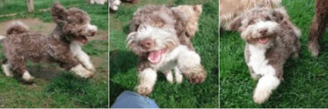 breeder of havapoo puppies for sale Havanese / Poodle mix