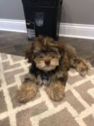 Creamy Chocolate / Tan Toy Poodle YorkiPoo Puppy breeder