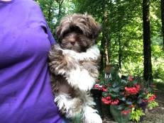 Havashire Havanese Yorkshire terrier mix-breed puppies for Sale Breeder