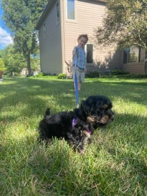 Havashire puppies for sale Havanese Yorkshire terrier mix breed