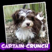 Choc/Tan Tux Havanese Capt. Crunch