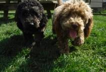 Mini Poodle Havanese puppies for sale