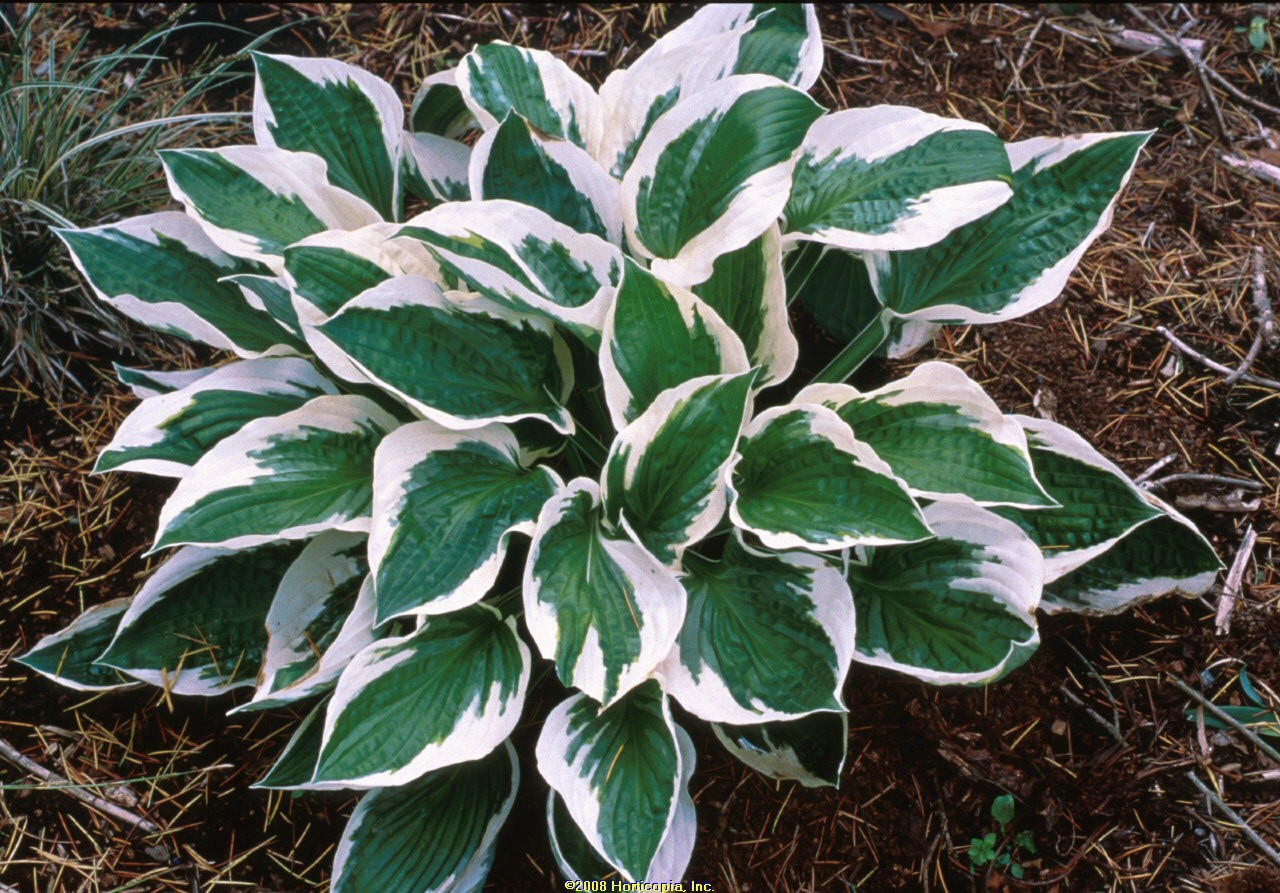 Hosta Patriot Plantain Lily Sunnyside Gardens