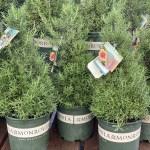 Rosemary Topiary 2 Sunnyside Gardens