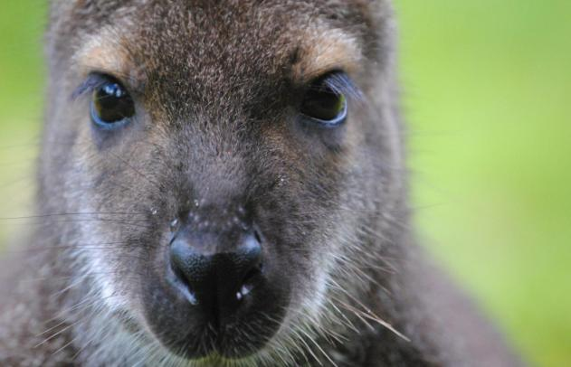 Im Zoo Fotografieren: Wallaby im Zoo Hannover