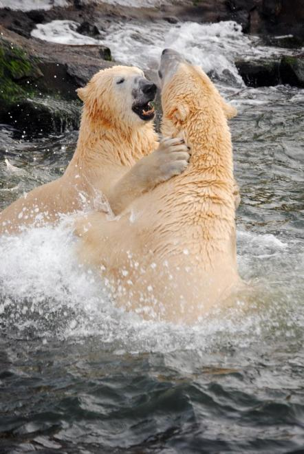 Zoo Hannover: Eisbären