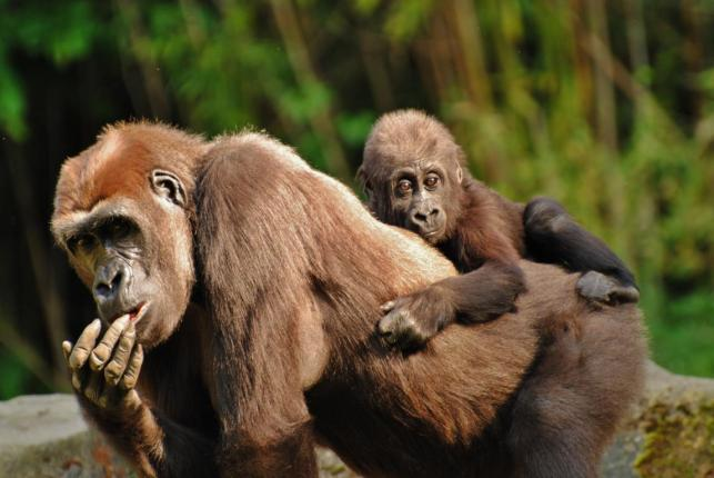 Zoofotografie: Gorilla mit Baby im Zoo Hannover