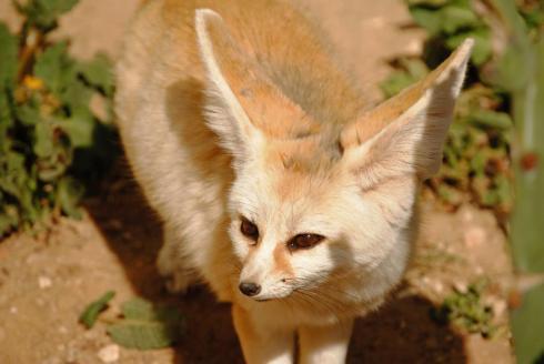 Reise Tunesien Erfahrungen Friguia Park Wüstenfuchs