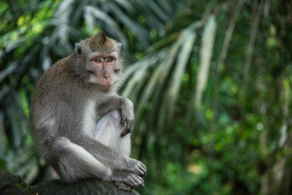 Monkey Forest Ubud Affenwald Affe