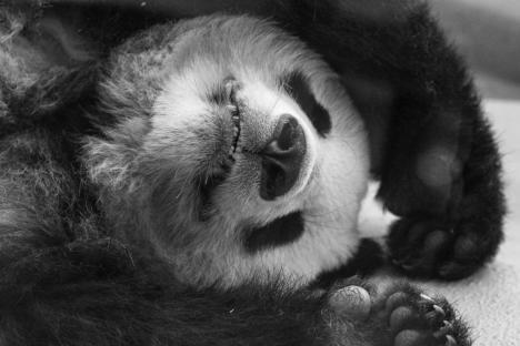 wien tipps: panda im tiergarten schönbrunn
