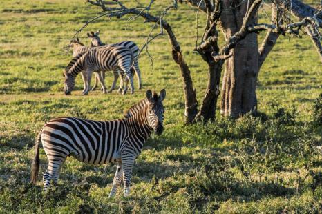 Garden Route Südafrika Sehenswürdigkeiten Tipps Highlights Private Game Reserve Zebras