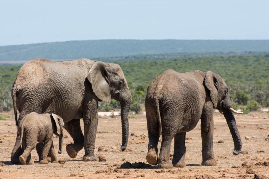 Addo Elephant Nationalpark Elefanten