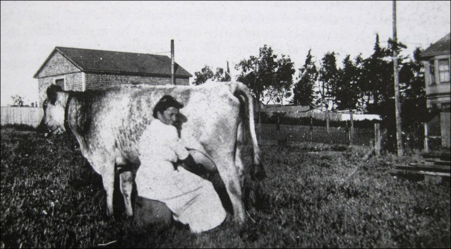 Woman milking cow, Excelsior District, early 20thC. From San Francisco's Excelsior District by Walter G. Jebe Sr.