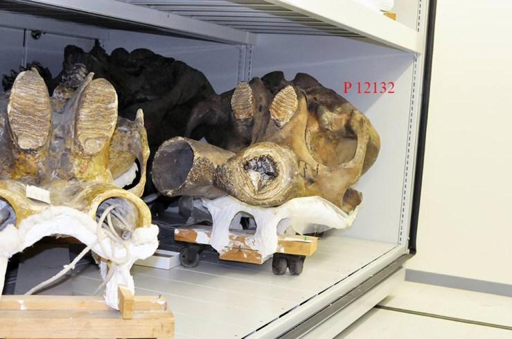 Mastodon bones found by Max Lohbrunner.