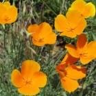 California Poppy. YosemiteHikes.org